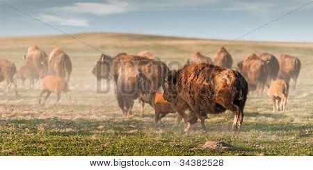 American Bison (Bison bison) Stampede