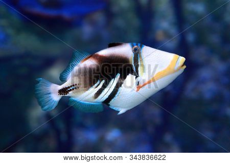 Picasso Triggerfish (rhinecanthus Aculeatus) On The Coral Reef
