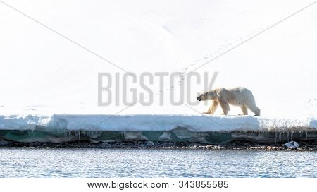 Adult male polar bear walks at the edge of the fast ice in Svalbard, a Norwegian archipelago between mainland Norway and the North Pole. Side view with space for text.