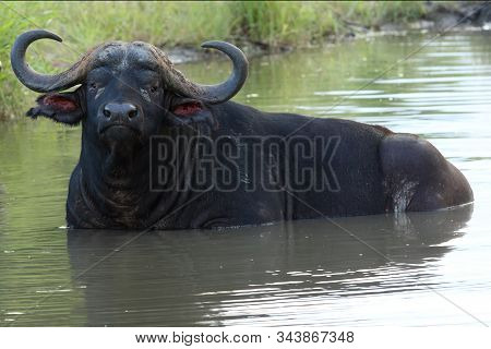 The African Buffalo Or Cape Buffalo (syncerus Caffer) Large Male Lying Covered In Small Pond. Big Bu