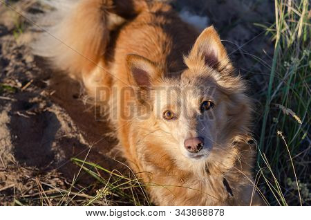 A Devoted Look Of A Little Domestic Dog. A Small Red Mixed-breed Dog Is Looking At The Camera. View