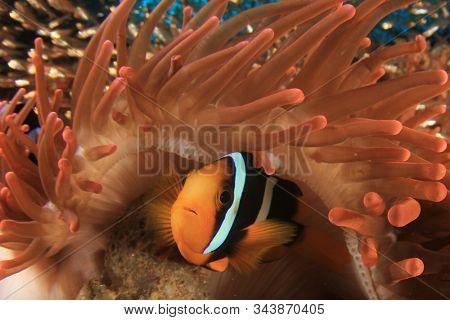 Clark's Anemonefish (Clownfish) in red anemone