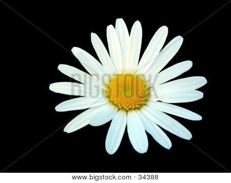 White Daisy Isolated On Black Background