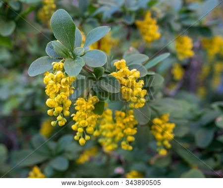 Yellow Flowers Of The Medicinal Plant Barberry. Horizontal Photo Format