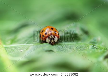 Ladybug Creeps On Brightly Green Leaf, A Green Background.insects, Ladybug On A Green Leaf Close Up.