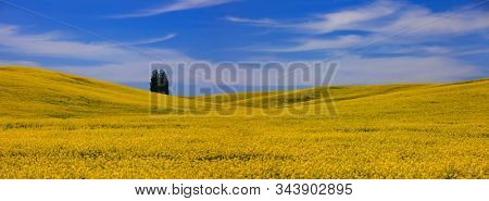 Canola country near Palouse, Washington state