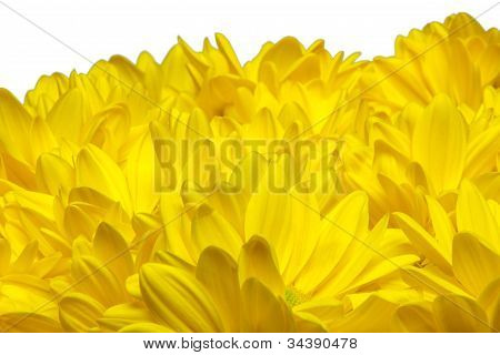 bed of yellow chrysanthemum flowers