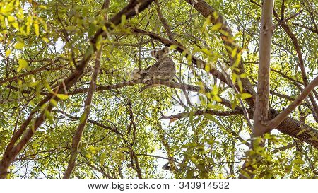 A Female Australian Koala Bear Sitting In A Tree With Her Joey In Their Natural Bushland Habitat