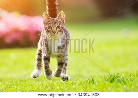 Gray Cat Run Grass On Sunset. Spring Background. Green Field Background. Beautiful Nature. Funny Cat