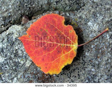 Fall Aspen Leaf