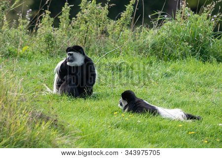 A Colobus Monkey Sits And Waits In The Grass