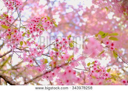 Wild Himalayan Sakura Cherry Blossom Flower. Blooming Pink Flora Tree