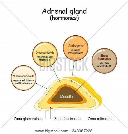 Hormones Of The Adrenal Gland. Labeled Scheme With All Hormones Types. Medical Diagram With Closeup
