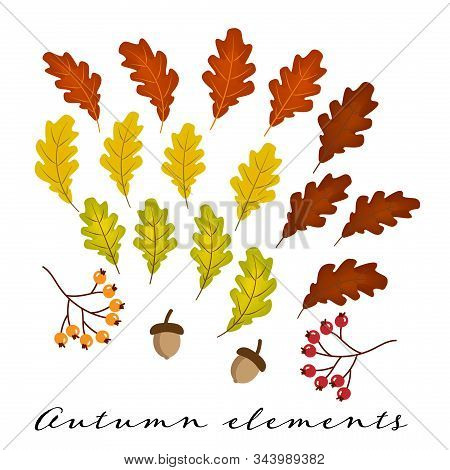 Set Of Colorful Oak Leaves, Acorns And Berries Isolated On White Background. Simple Cartoon Autumn E