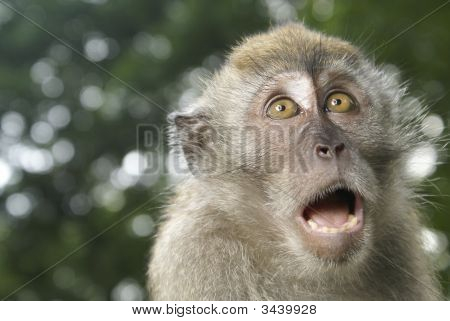 Frightened Long Tailed Macaque Monkey