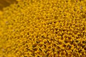 macro of a sunflower detail from a field of sunflowers poster