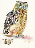 original watercolor painting of bird owl on a branch (Bubo Virginianus Subarcticus). I am author of this illustration poster