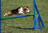 Beagle bitch exercising in an agility competition poster