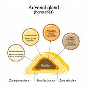 Hormones of the adrenal gland. Labeled scheme with all hormones types. Medical diagram with closeup gland cross section. Human endocrine system. vector illustration. poster