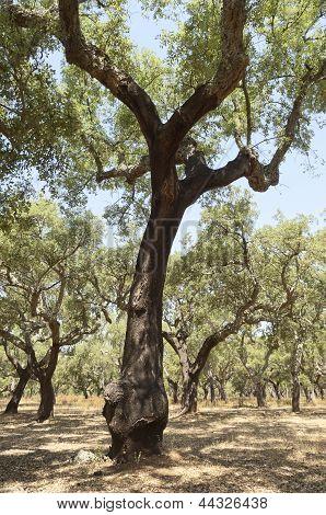 Cork Trees
