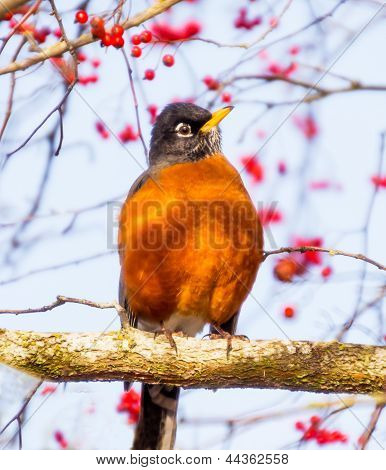 Red Breasted American Robin With Red Berries