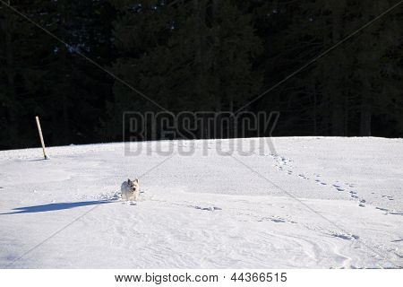 White Dog In A Snowfield