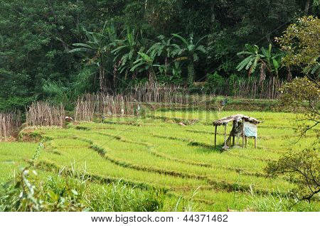Rice fields in Sri Lanka