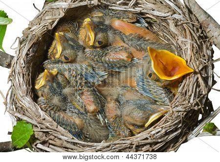 Nest Of Thrush
