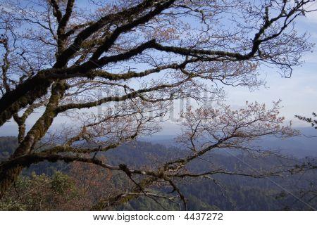 Tree Against Saratoga Hills
