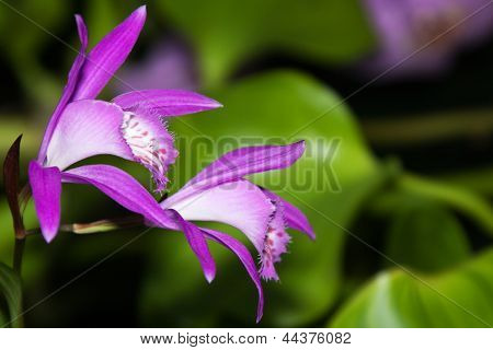 Japan Orchid (Bletilla striata)