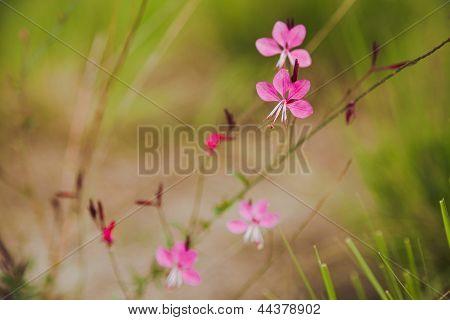Pink Gaura (gaura Lindheimeri)