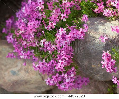 Colorful pink creeping phlox ,outdoors