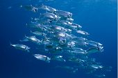 School of striped Mackerel feeding in the Red Sea Egypt poster