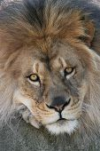 Close up of a male african lion poster