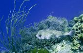porcupine fish at 45 feet deep on a tropical coral reef poster