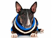 english bull terrier dog wearing a sweater poster