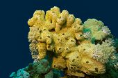 coral reef with great yellow sea sponge at the bottom of red sea in egypt poster