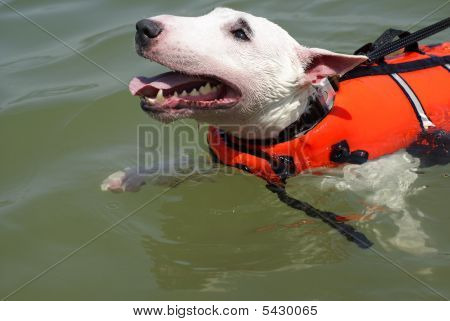 Pit bull terrier swimming with red life vest poster