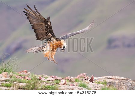 Adult bearded vulture landing on a rock ledge where bones are available poster