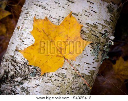 Fall Leach On Birch
