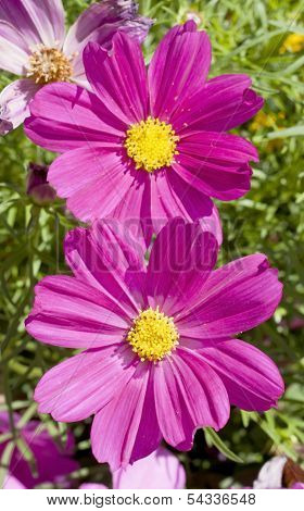 Pink Cosmos flower family fompositae