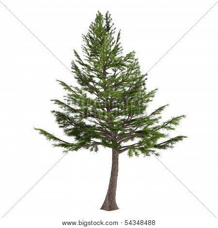 Tree pine isolated. Cedrus libani