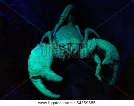 Scorpion, Black Emperor. Under a black light. poster