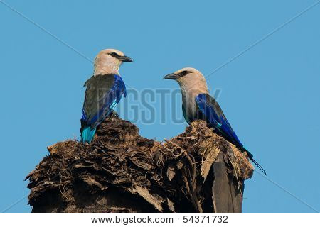 A Pair of Blue-Bellied Rollers (Coracias cyanogaster) perched on a tall palm stump poster