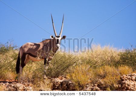One Single Gemsbok Grazing On A Dune In The Kalahari