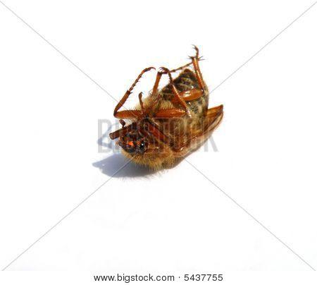 Dead Maybug