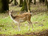 Female fallow deer (Dama dama) in the Waterleidingduinen The Netherlands poster