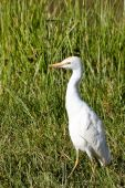 Cattle egret in tall grass at Ngorongoro Conservation Area Tanzania. poster
