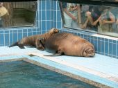 Sea-lions that sunbathe on the edge of the tub in an animal park with visitors poster