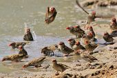 A flock of Red Billed Quelea cool down on a hot summer's day, as seen in the wilds of Africa. poster